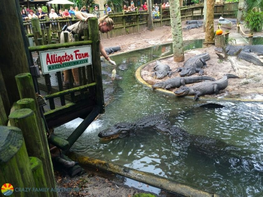 Feed the gators in St. Augustine