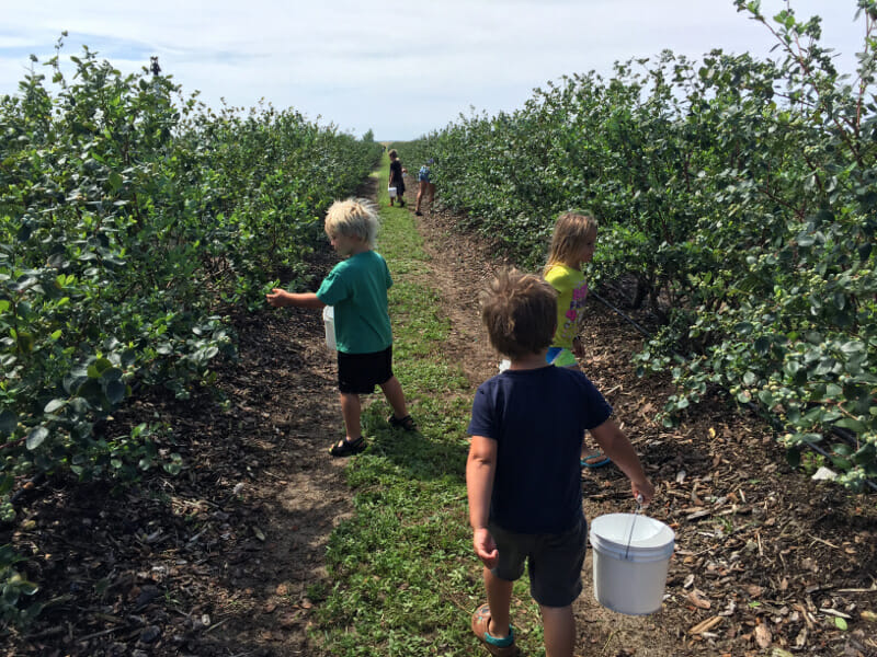 Blueberry picking in Orlando