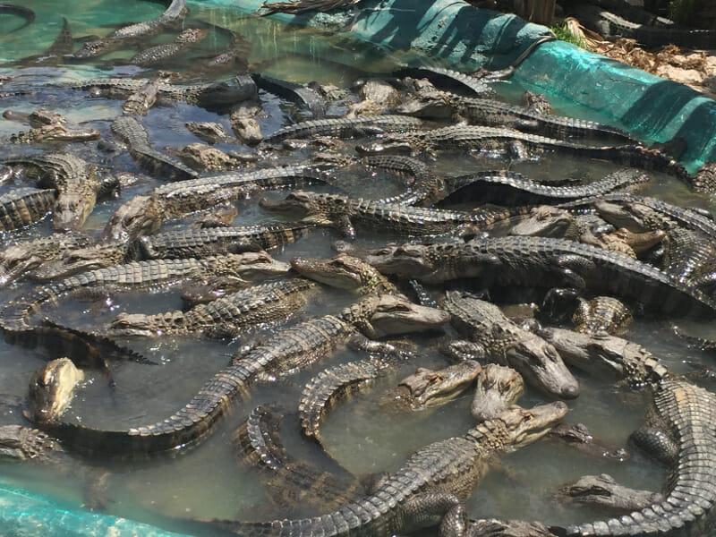 Alligator Alley 2